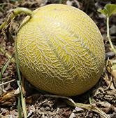 plants-melon-emeraude-plants