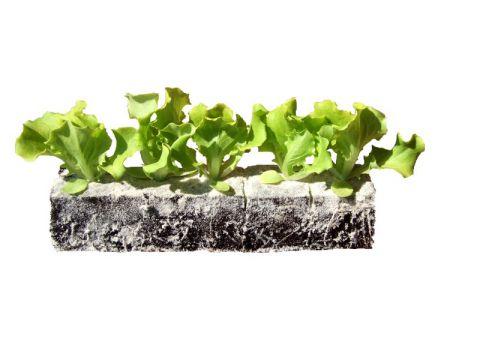 plants-batavias-emeraude-plants