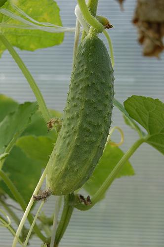 plants-cornichons-emeraude-plants