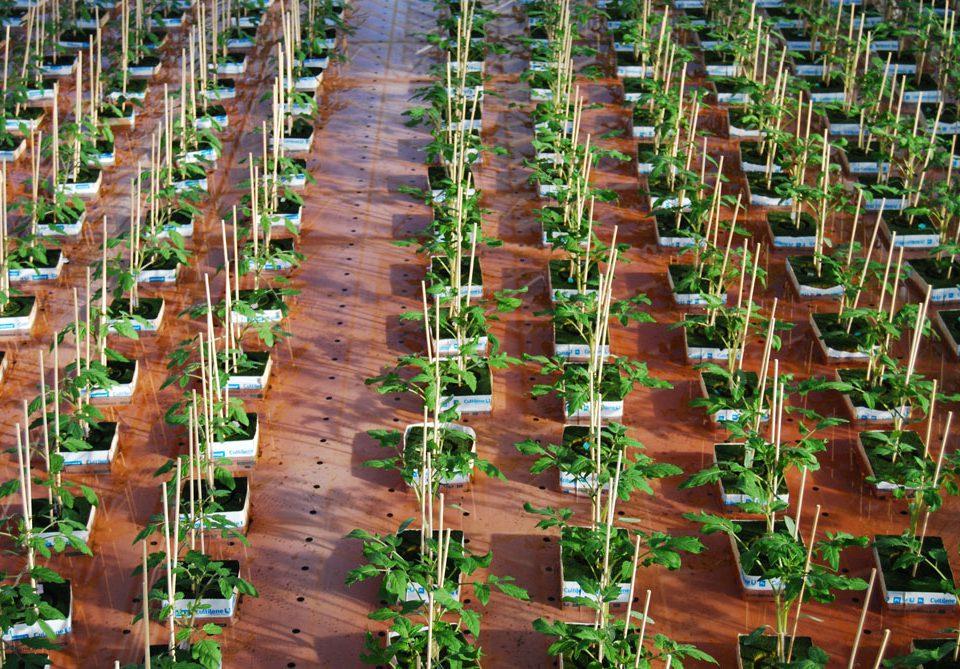 eau-tomates-greffees-emeraudeplants